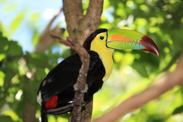 Keel-billed Toucan [medium]