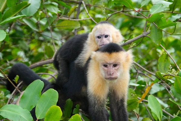 White-faced monkeys 600x400px